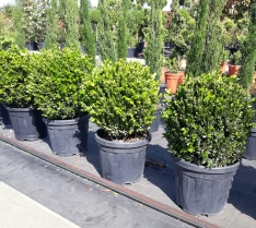 1 Buxus Microphylla Fulkner A Palla Sfera.jpg